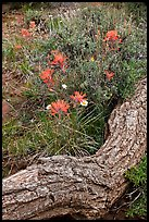 Fallen log and indian paintbrush. Black Canyon of the Gunnison National Park, Colorado, USA.