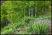 Lupine and aspen trees. Black Canyon of the Gunnison National Park, Colorado, USA.