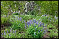 Spring flowers and forest. Black Canyon of the Gunnison National Park, Colorado, USA.
