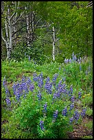Lupine and aspens in the spring. Black Canyon of the Gunnison National Park, Colorado, USA.