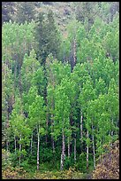 Spring green aspens on hillside. Black Canyon of the Gunnison National Park, Colorado, USA.