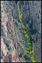 Trees in autumn color in steep gully. Black Canyon of the Gunnison National Park ( color)