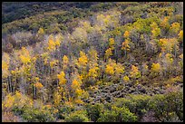 Aspen on hills in autumn, East Portal. Black Canyon of the Gunnison National Park ( color)