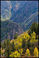 Trees in autumn foliage and canyon. Black Canyon of the Gunnison National Park ( color)