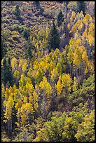 Yellow aspen on steep slope. Black Canyon of the Gunnison National Park ( color)