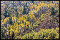 Slope with aspen in fall foliage. Black Canyon of the Gunnison National Park ( color)