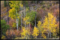 Trees in fall foliage, East Portal. Black Canyon of the Gunnison National Park, Colorado, USA. (color)