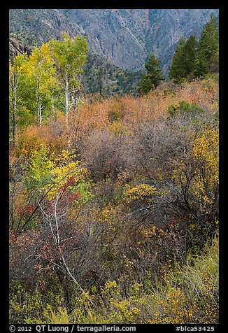 Shrubs and trees in autumn color. Black Canyon of the Gunnison National Park (color)