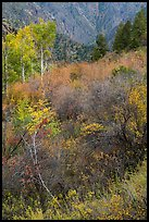 Shrubs and trees in autumn color. Black Canyon of the Gunnison National Park ( color)