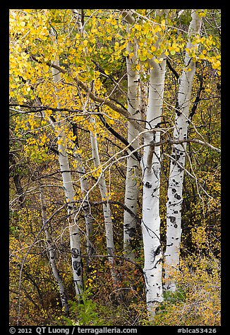 Aspen in fall. Black Canyon of the Gunnison National Park (color)
