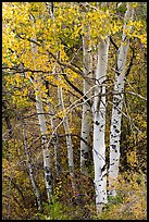 Aspen in fall. Black Canyon of the Gunnison National Park ( color)