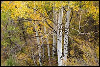 Aspen in autumn. Black Canyon of the Gunnison National Park ( color)