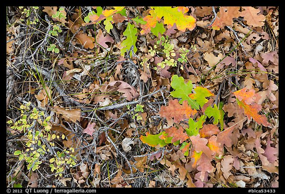 Close-up of Oak leaves in autumn. Black Canyon of the Gunnison National Park (color)