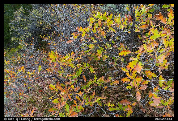 Gambel Oak thicket in the fall. Black Canyon of the Gunnison National Park (color)