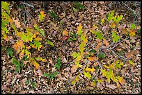 Gambel Oak and ground covered with fallen leaves. Black Canyon of the Gunnison National Park ( color)