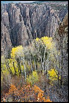 Gambel Oak and aspen trees in autum with canyon walls. Black Canyon of the Gunnison National Park ( color)