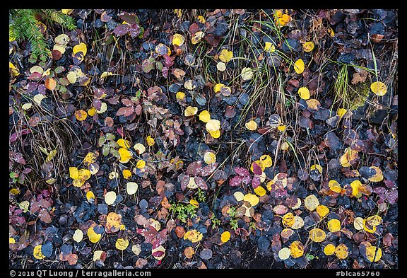Close up of fallen aspen leaves. Black Canyon of the Gunnison National Park (color)