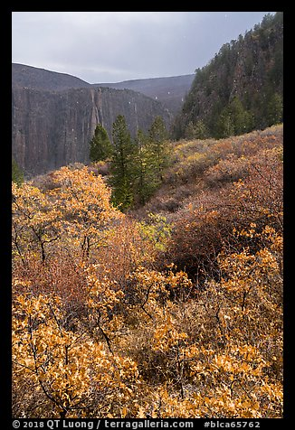 Snowfall and gambel oak in autumn. Black Canyon of the Gunnison National Park (color)