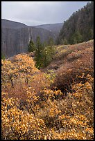 Snowfall and gambel oak in autumn. Black Canyon of the Gunnison National Park ( color)