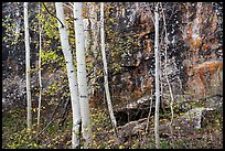 Cliff and aspen in autumn. Black Canyon of the Gunnison National Park ( color)