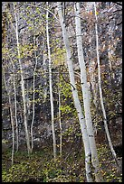 Aspen and cliff in autumn. Black Canyon of the Gunnison National Park ( color)
