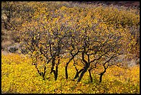 Gambel Oak trees in autumn. Black Canyon of the Gunnison National Park ( color)