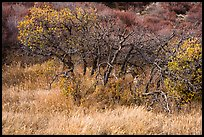 Deer and Gambel Oak trees in autumn. Black Canyon of the Gunnison National Park ( color)