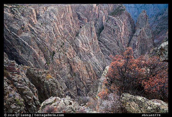 Serviceberries in fall foliage on the edge of canyon, Cross Fissures. Black Canyon of the Gunnison National Park (color)