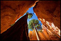 Douglas Fir in Wall Street Gorge, mid-day. Bryce Canyon National Park ( color)