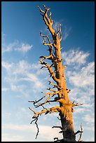 Bristlecone pine tree top. Bryce Canyon National Park, Utah, USA. (color)