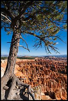 Pine tree with exposed roots framing Bryce Amphitheater, Inspiration Point. Bryce Canyon National Park ( color)