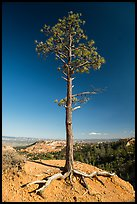 Pine tree with exposed roots on rim. Bryce Canyon National Park ( color)