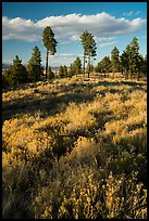 Grasses and pine trees in late summer. Bryce Canyon National Park ( color)