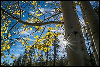 Sunstar through aspens in autumn foliage. Bryce Canyon National Park ( color)