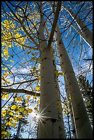 Aspens in autumn foliage and sun. Bryce Canyon National Park ( color)