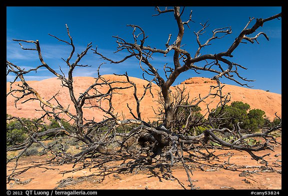 Dead juniper trees and Whale Rock. Canyonlands National Park, Utah, USA.