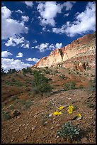 Wildflowers and Waterpocket Fold cliffs, afternoon. Capitol Reef National Park, Utah, USA.