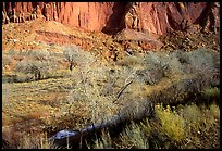 Sandstone cliffs and desert cottonwoods in winter. Capitol Reef National Park, Utah, USA. (color)