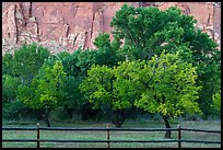 Fruit trees in historic orchard and red cliffs. Capitol Reef National Park ( color)