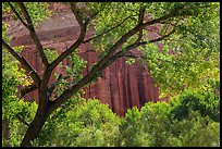Cottonwood and red cliffs in late summer. Capitol Reef National Park ( color)