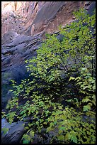 Maple in Surprise canyon. Capitol Reef National Park, Utah, USA.