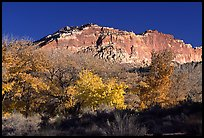 Trees in falls colors and cliffs, Fruita. Capitol Reef National Park, Utah, USA.