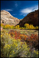 Blooming sage and cottonwoods in autum colors, Fremont River Canyon. Capitol Reef National Park ( color)