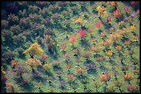 Orchard trees in autumn from above. Capitol Reef National Park ( color)