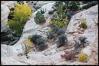Shrubs with fall foliage and sandstone ledges. Capitol Reef National Park ( color)