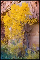 Cottonwood in fall foliage against sandstone cliff. Capitol Reef National Park ( color)