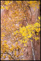 Aspen tree in autumn foliage against red cliff. Capitol Reef National Park ( color)