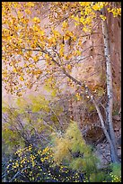Tree and shrubs in autumn foliage against red cliff. Capitol Reef National Park ( color)