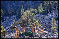 Bristlecone Pine trees and tallus, Wheeler cirque. Great Basin National Park, Nevada, USA. (color)