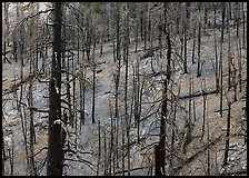 Forest of burned trees. Great Basin National Park ( color)